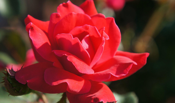 Front Yard Rose