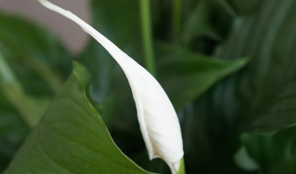 Porch Peace Lily