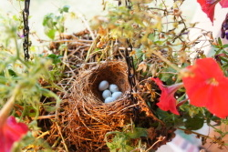 Birds nest with five eggs